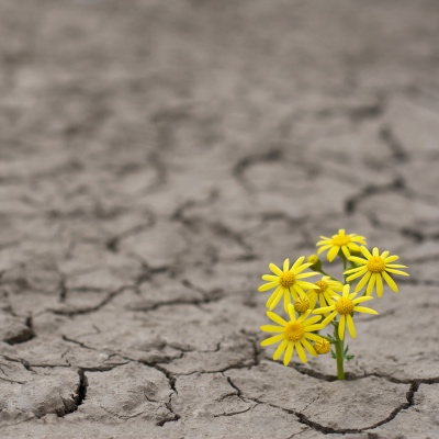Horizontal side view of a lonely yellow flower growing on dried cracked soil