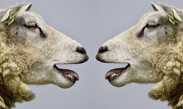 Two sheep lookiing at each each other with their mouths open